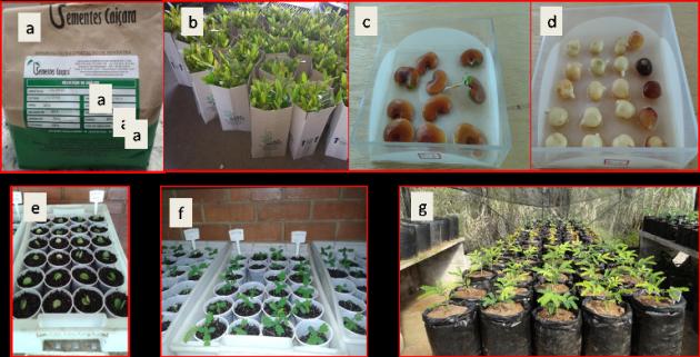 Sementes e mudas usadas no preparo dos experimentos em campo e na casa de vegetação da UFJF; sementes germinadas em caixas gerbox, plântulas em desenvolvimento; plantas em desenvolvimento na casa de vegetação (Imagens: acervo pessoal)