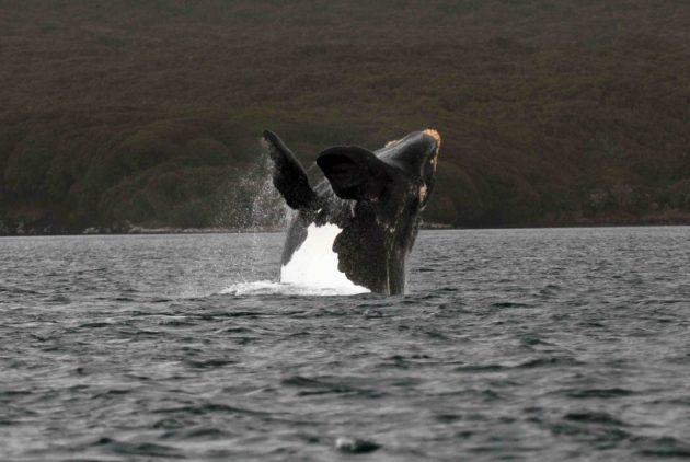 Pesquisa fornecerá uma série de resultados relacionados à conservação e gestão das populações de baleias, caçadas na região por cerca de 300 anos (Foto: Carlos Olavarria)
