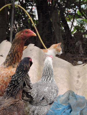 galinha e outro felino_Foto_RaulMourao_UFJF