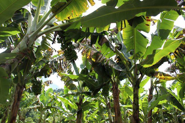 bananas piau