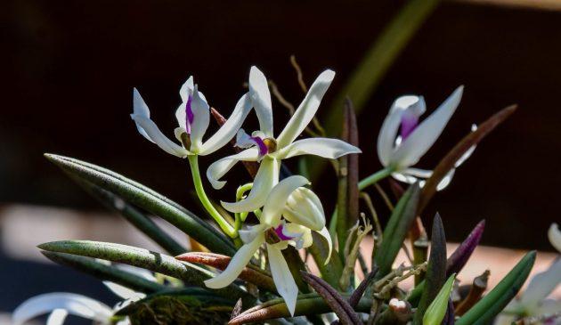 Orquídeas_no_Jardim_Botânico_da_UFJF__Foto_Gustavo_Tempone_UFJF (4)