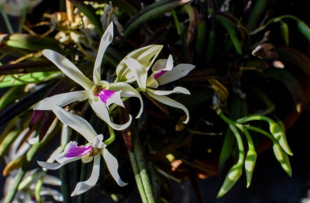 Orquídeas_no_Jardim_Botânico_da_UFJF__Foto_Gustavo_Tempone_UFJF (6)