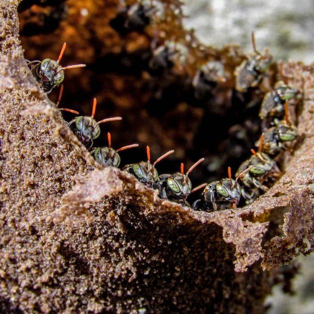 abelhas sem ferrão iraí - Foto João Luís Lobo